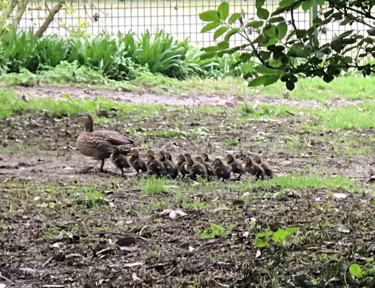 Ducks and ducklings in garden